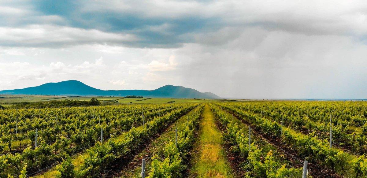 Vine Farm In Romania
